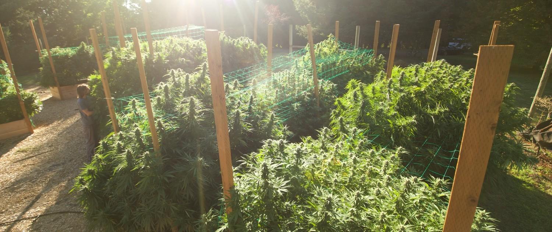 sun grown cannabis plants