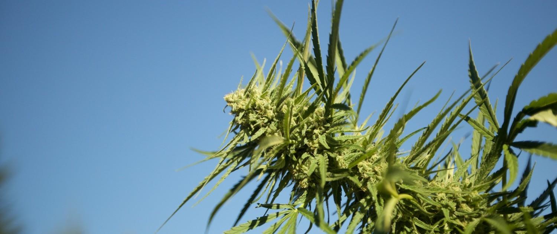 marijuana bud outdoors in the sun