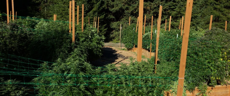 cannananda cannabis farm